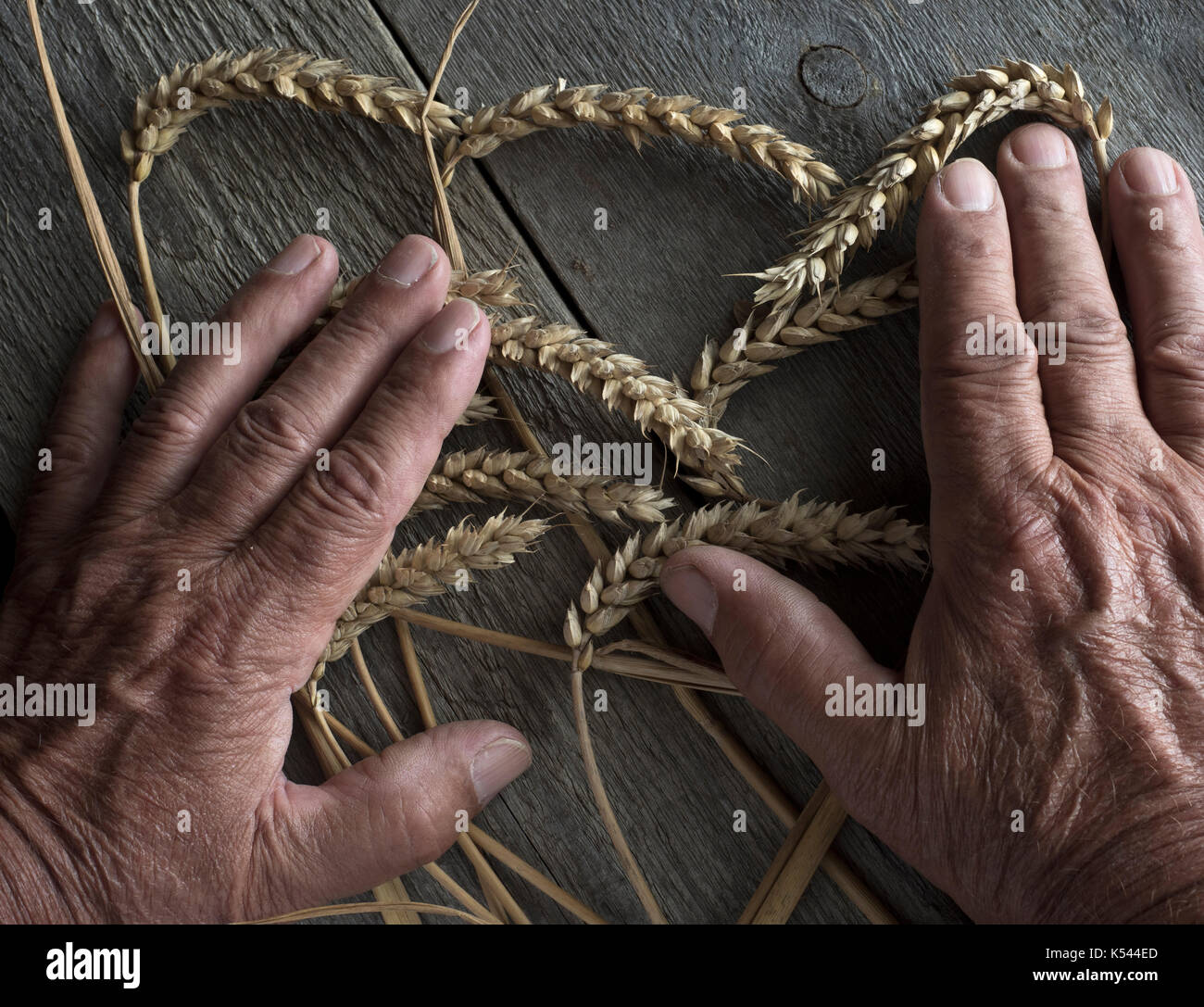 Farm workers hands and wheat ears (hands of the photographer) - Stock Image