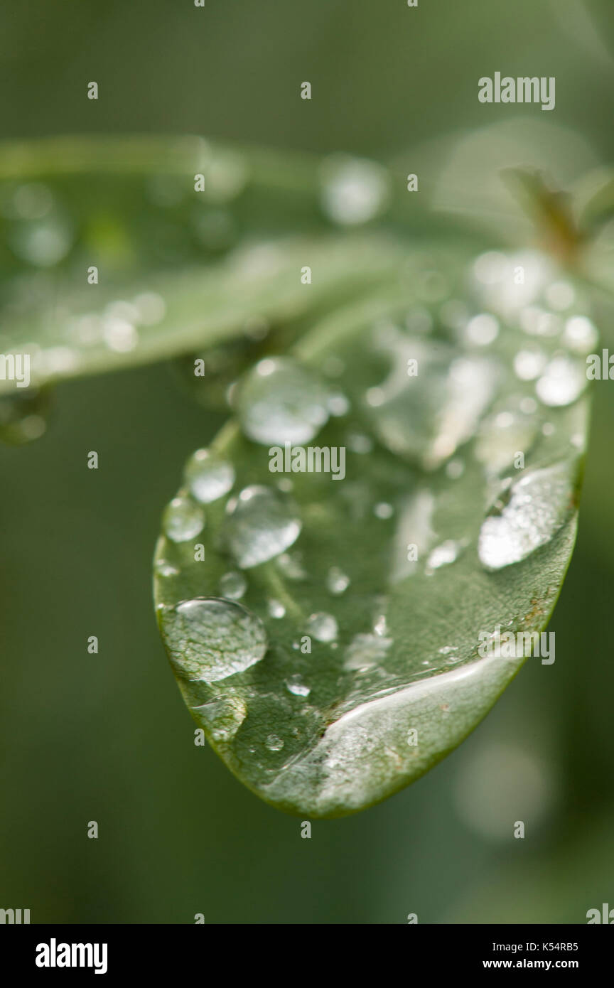 Surface Tension, Magnification, and Refraction. Water drops on leaves. - Stock Image