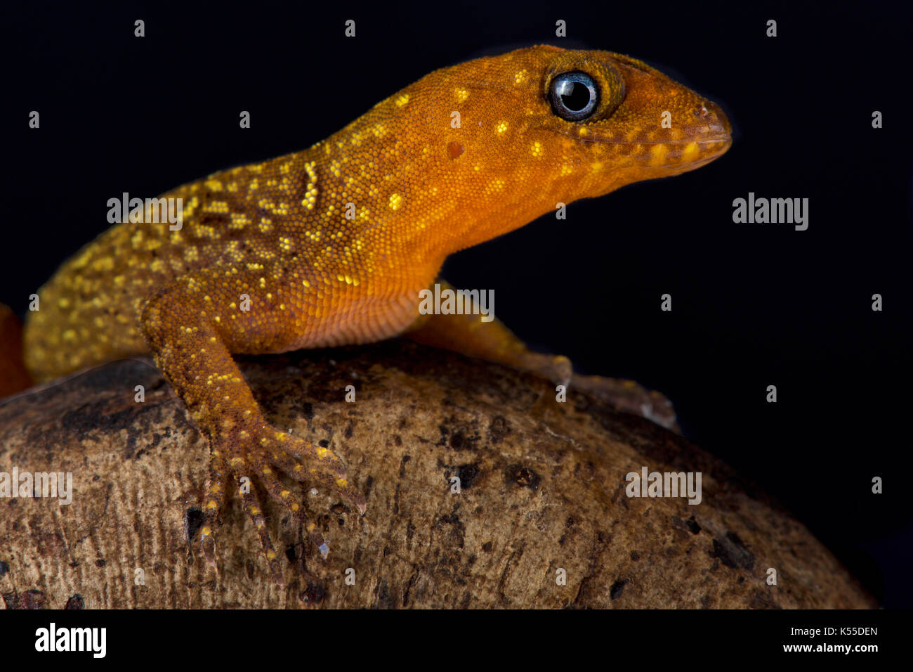 Annulated gecko, Gonatodes annularis - Stock Image