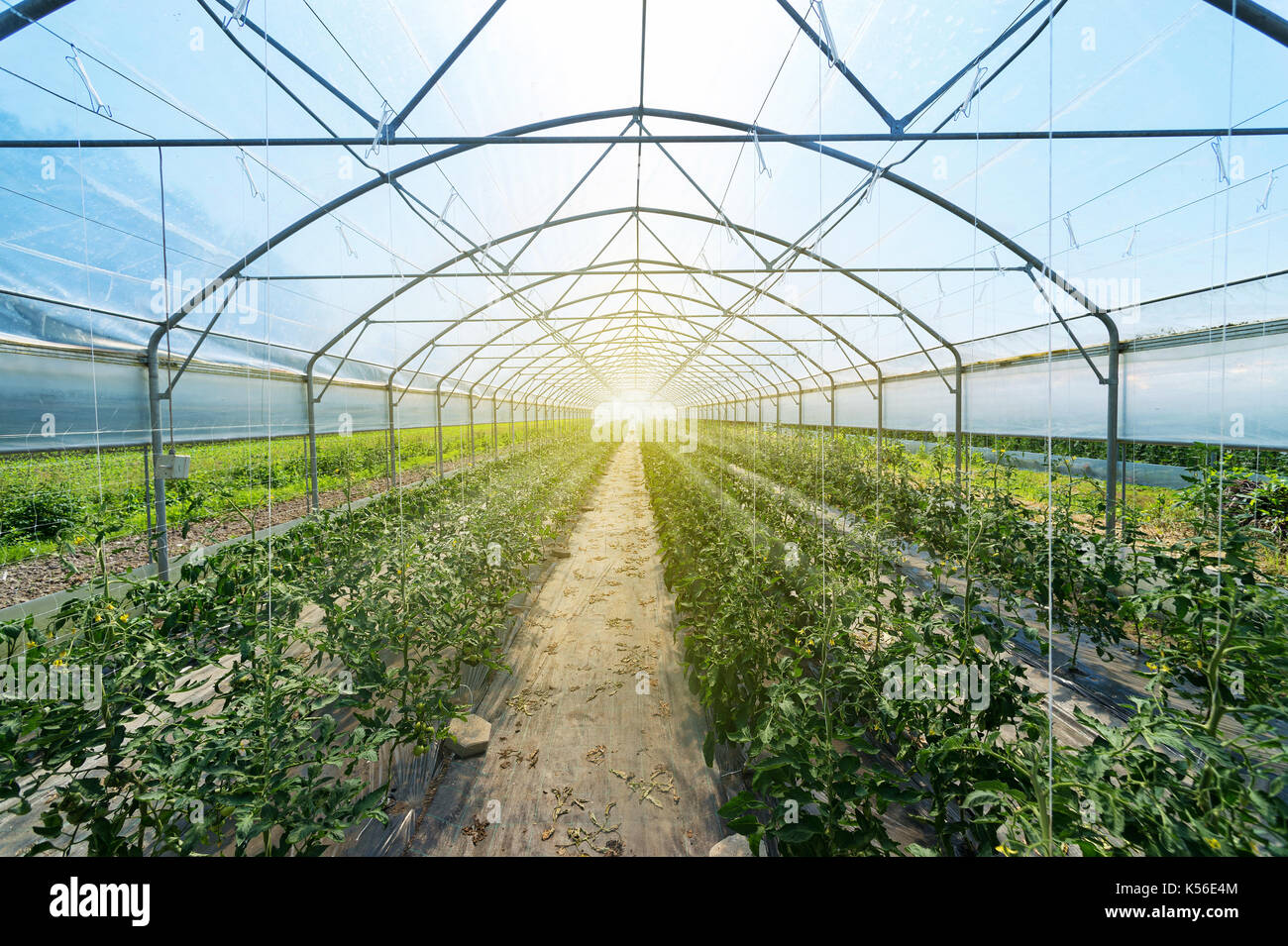 Rows of tomato plants growing inside big industrial greenhouse. Industrial agriculture. - Stock Image