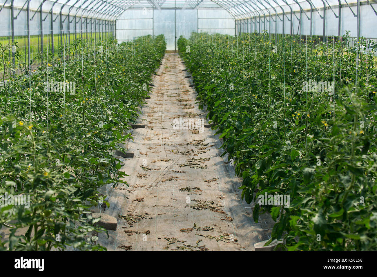 Rows of vegetable growing inside big industrial greenhouse. Industrial agriculture. - Stock Image