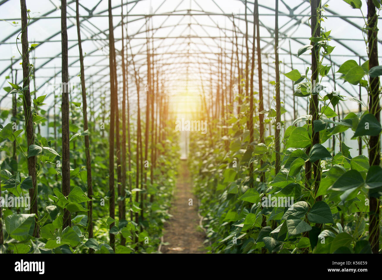 Rows of  bean palnts growing inside big industrial greenhouse. Industrial agriculture. - Stock Image