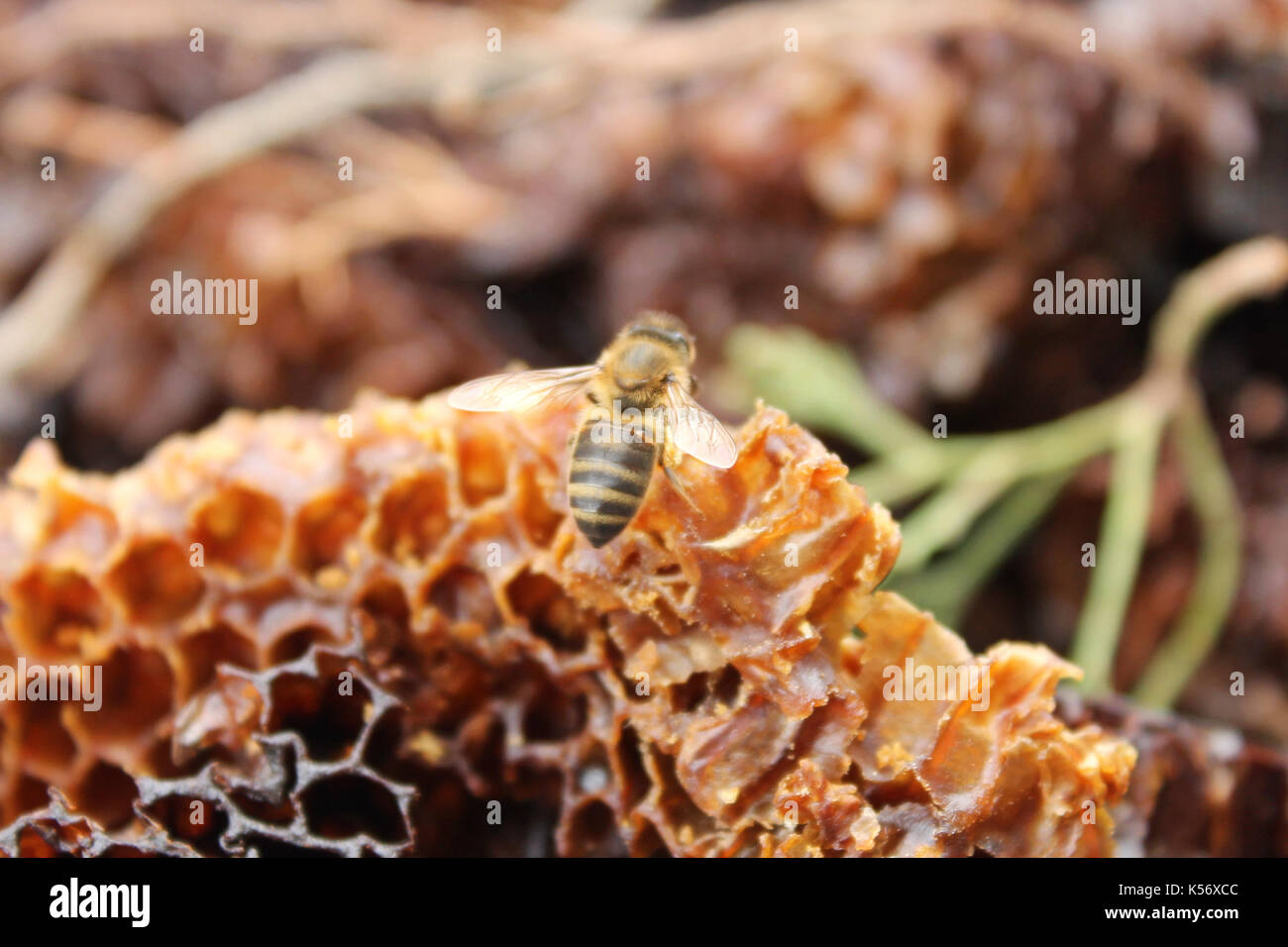 bee ready to fly - Stock Image