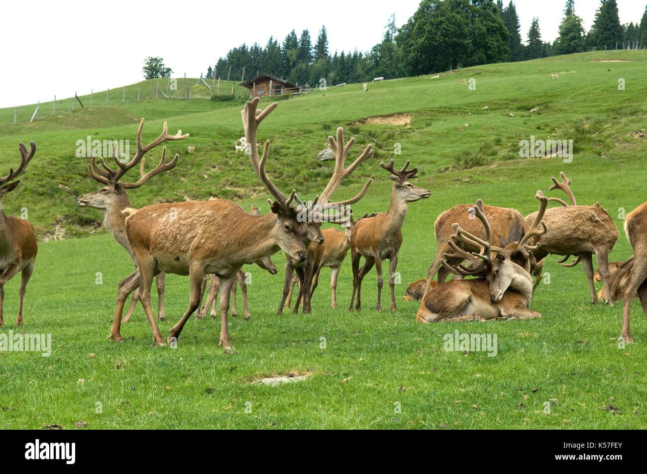 Rothirsch, Cervus elaphus, Rotwild, Hirsch Stock Photo