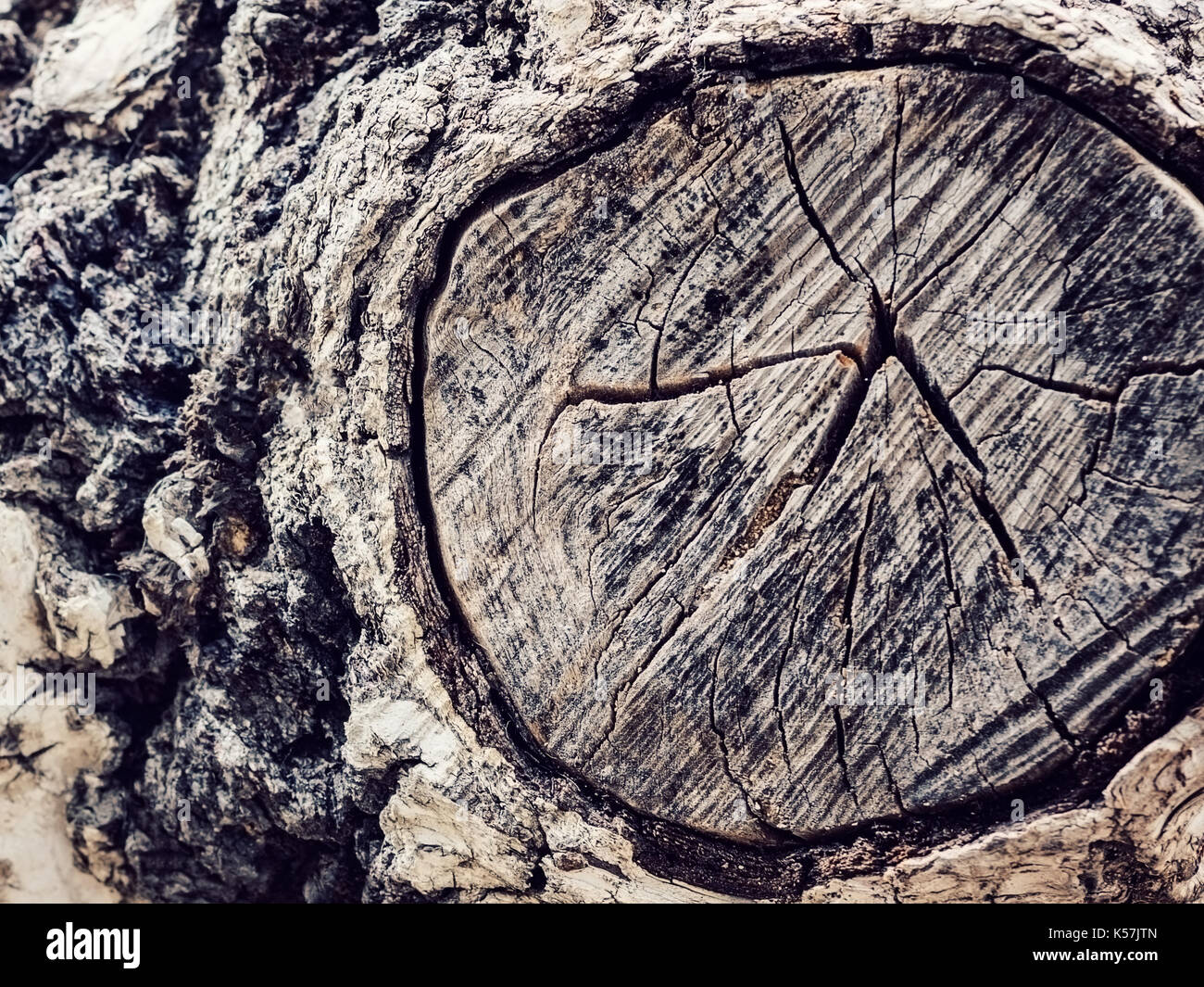 Texture old tree wood, annual growth ring Stock Photo