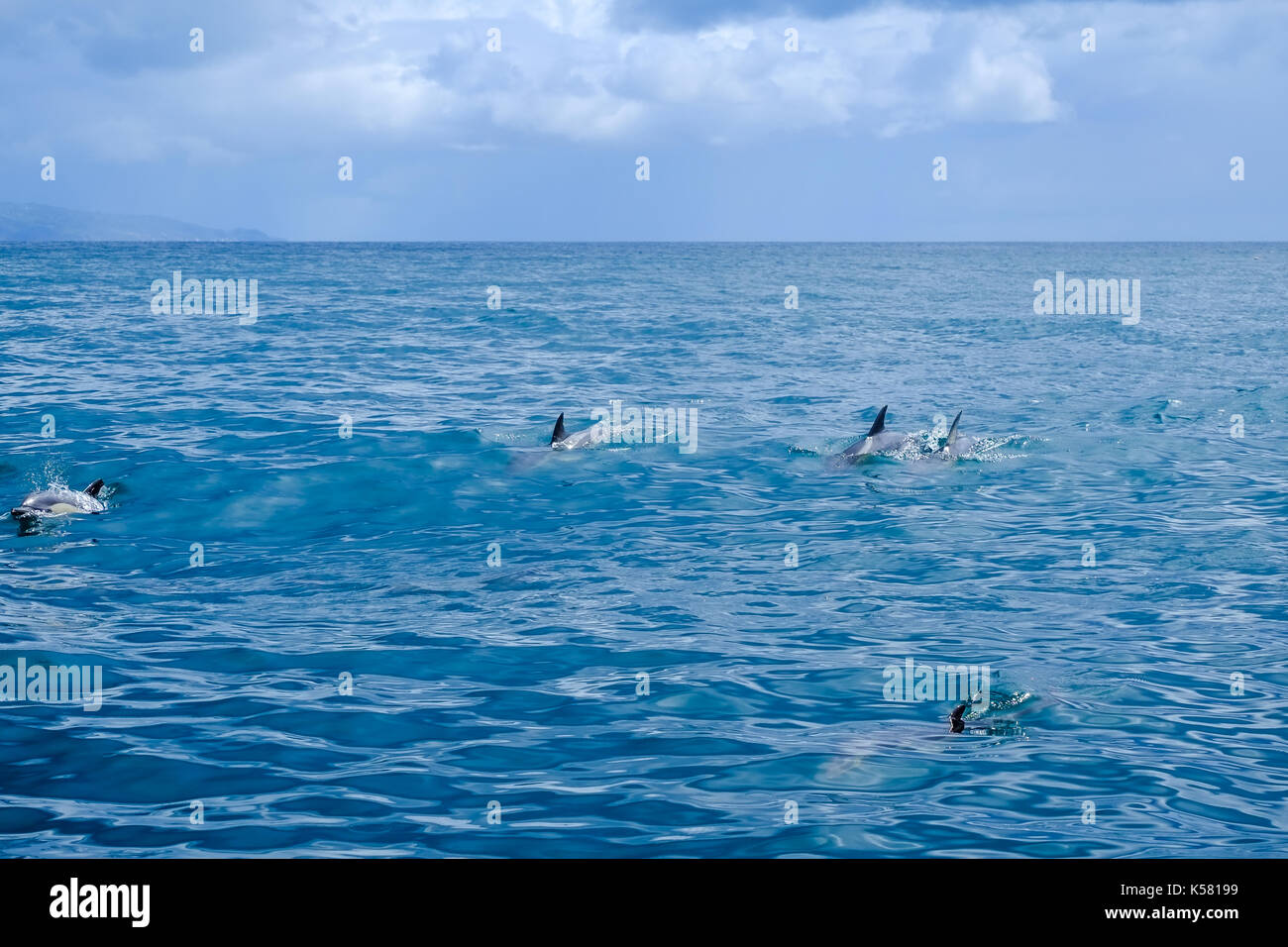 A pod of common dolphin swimming and playing in a calm ocean near to the Azores archipelago. - Stock Image