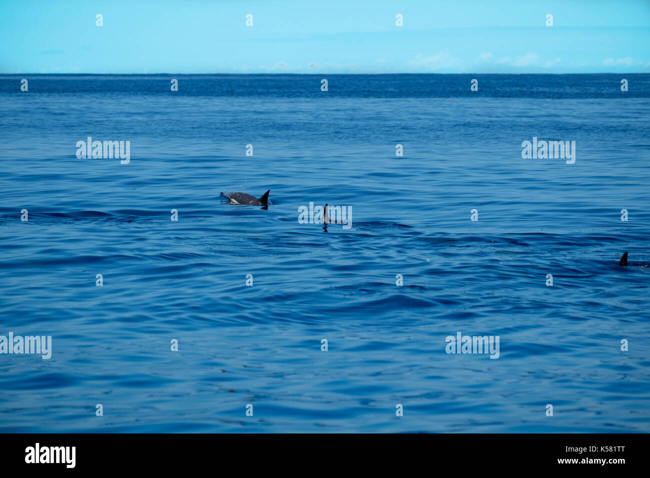 Common dolphins swimming in a calm sea near to the islands of the Azores archipelago. - Stock Image