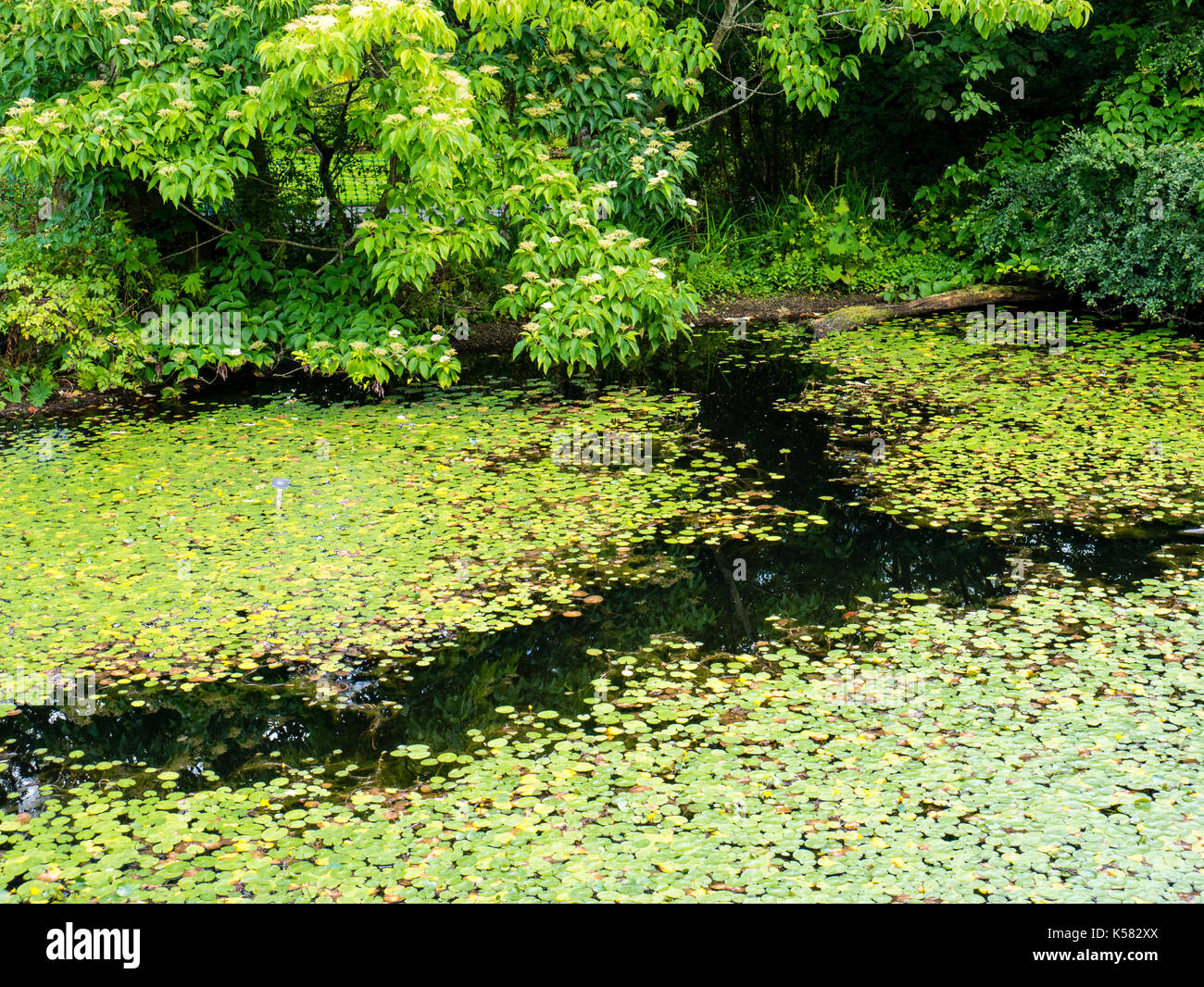 Water Lilly's, Chinese Hillside, Royal Botanic Garden Edinburgh, Edinburgh, Scotland - Stock Image