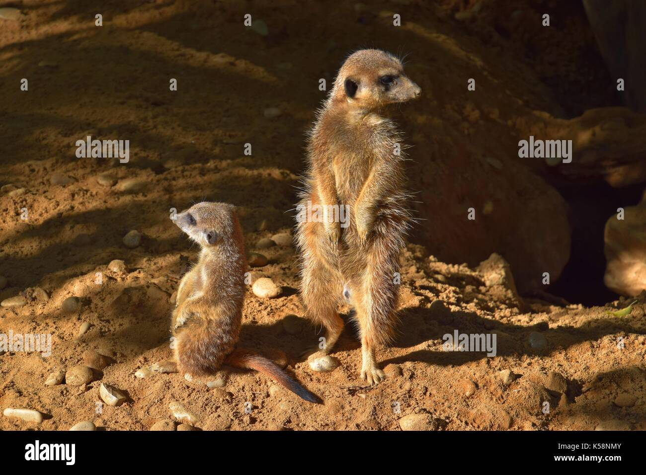 clan of meerkats, gang of suricate, suricata suricatta, - Stock Image
