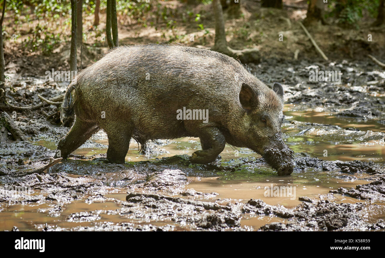 wild boar, European boar (Sus scrofa), slosh through mud - Stock Image