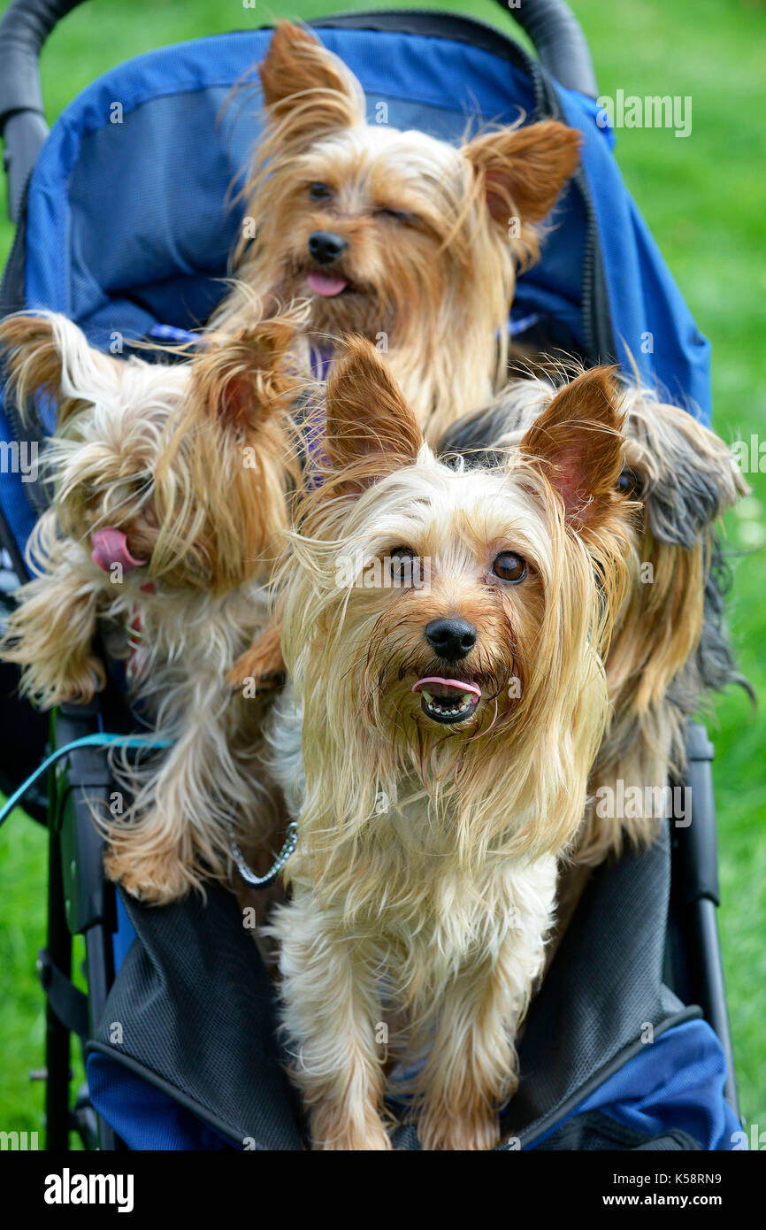 Dog show at Firle Place, thousands attended the event with hundreds of dog owners entering their pets for different events. Yorkie/chihuahua cross dog - Stock Image