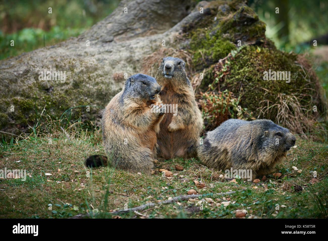 group of Alpine marmots, Marmota marmota - Stock Image