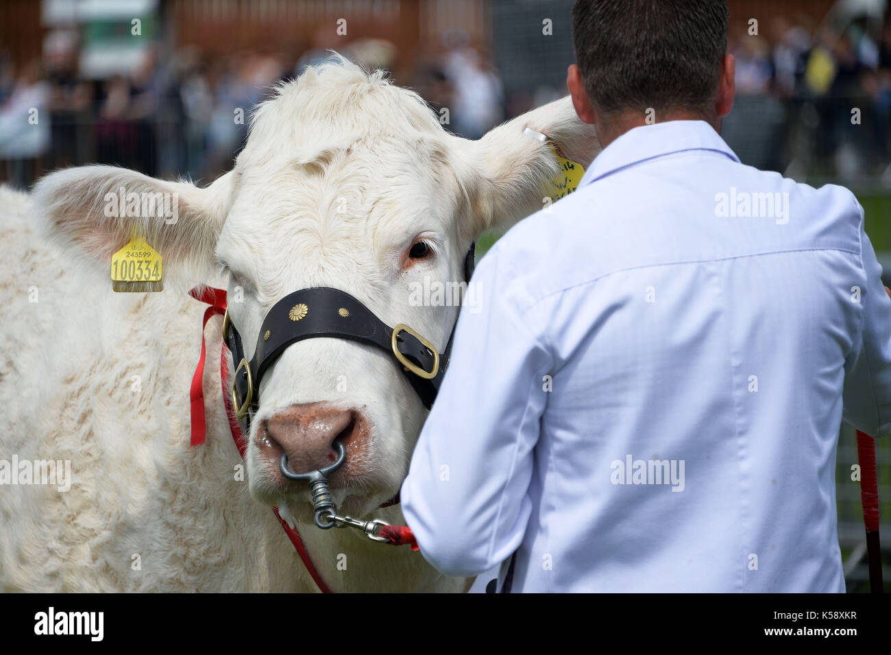 South of England Show 2016 at Ardingly. A farmer with a bull at the cattle show. Credit Terry Applin - Stock Image