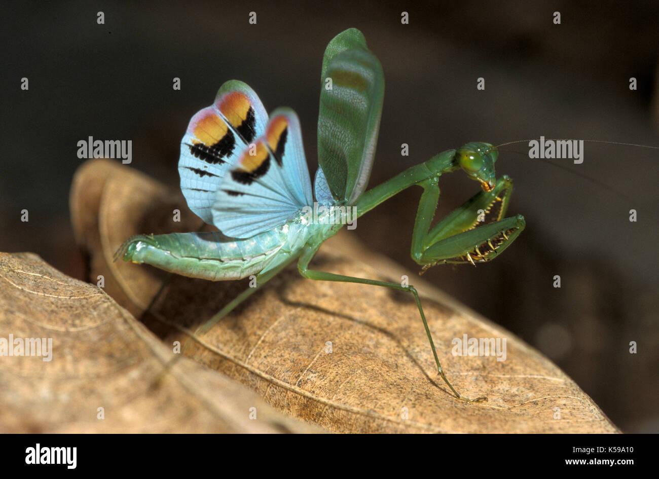 Praying Mantis Hymenopodidae Danum Valley Sabah Borneo