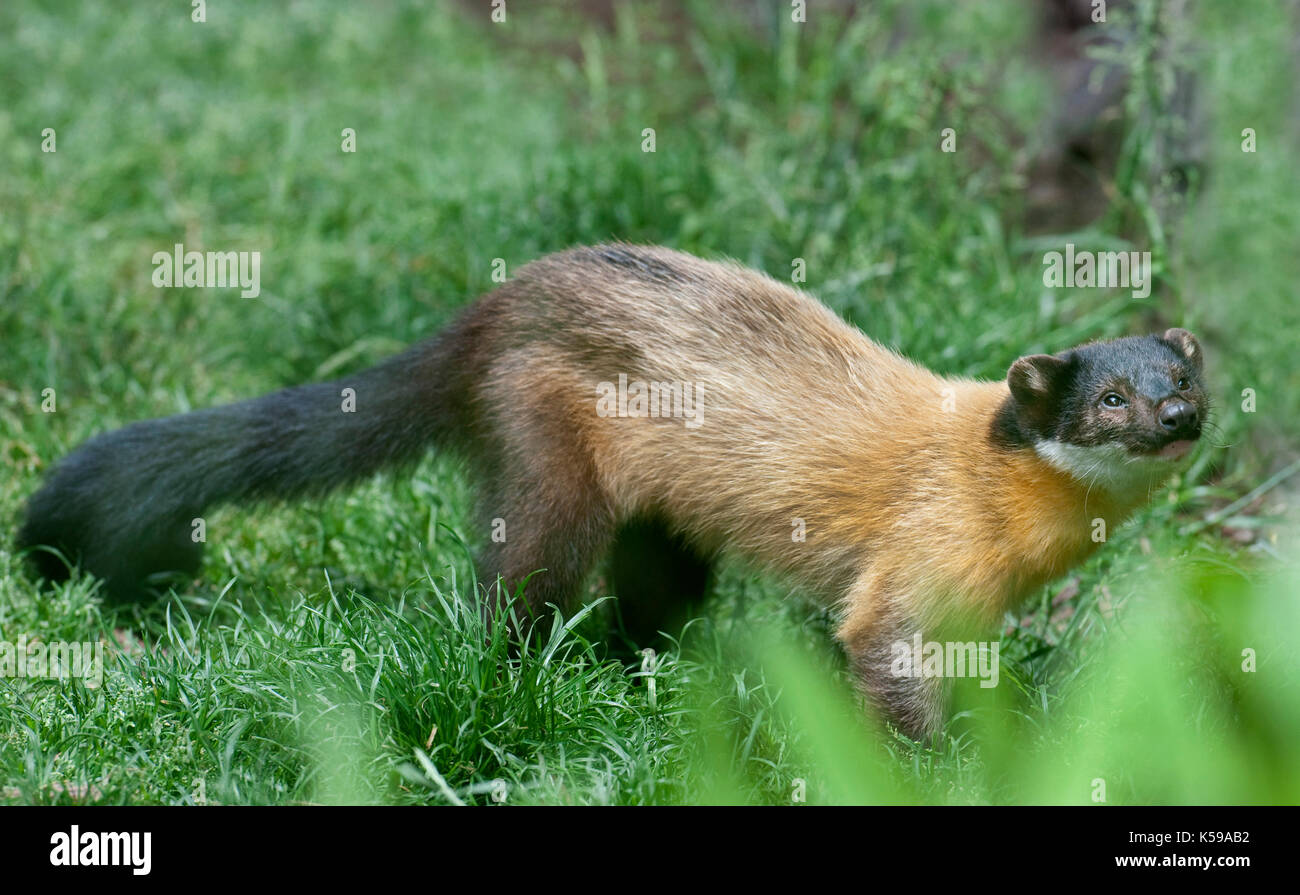 Yellow-throated marten, Martes flavigula, South East Asia, Captive, Rare Species Conservation Centre, Kent UK.  Least Concern on the IUCN Red List, la - Stock Image