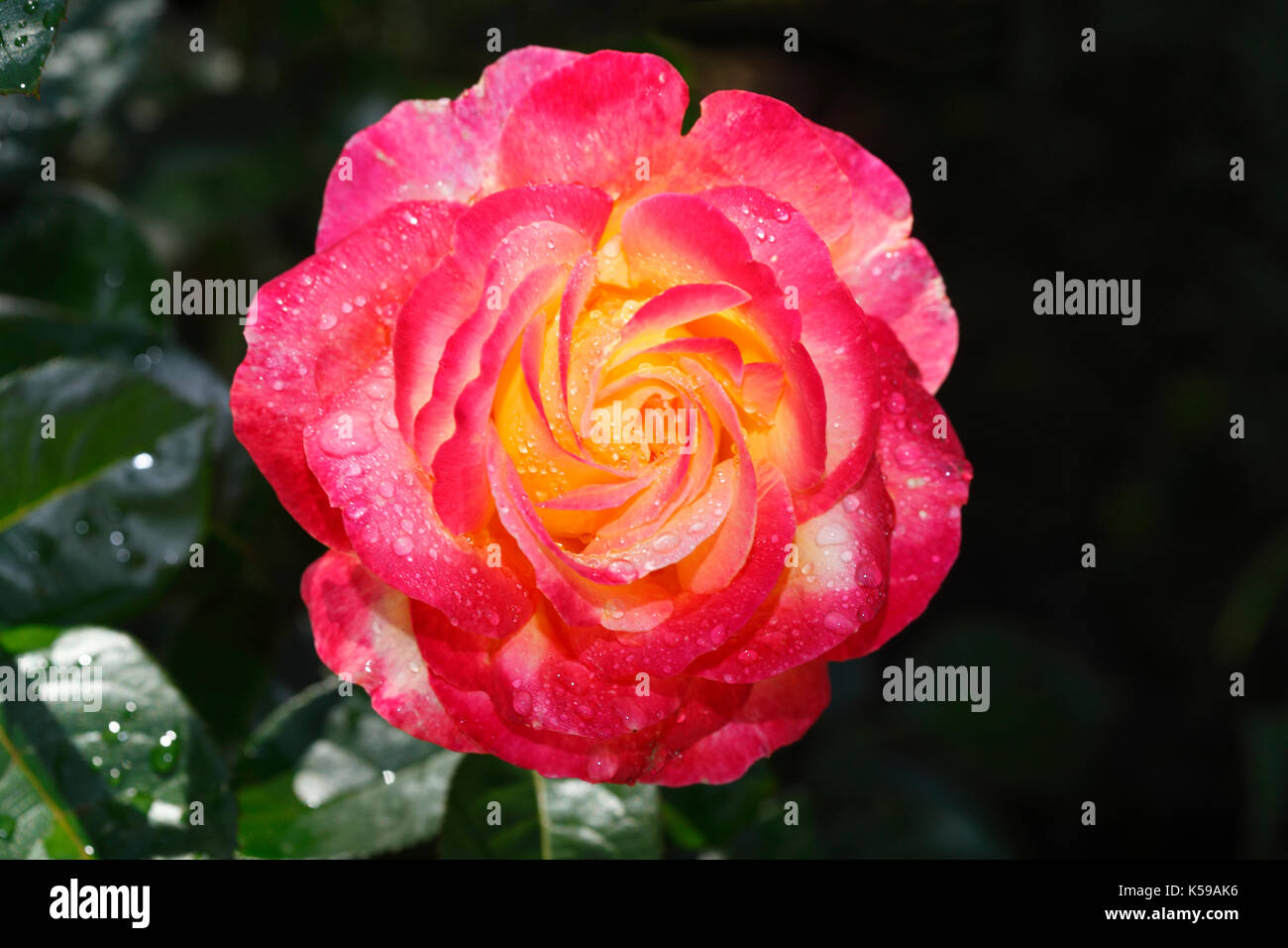 Red noble rose with morning dew  I  Rote Edelrose Stock Photo