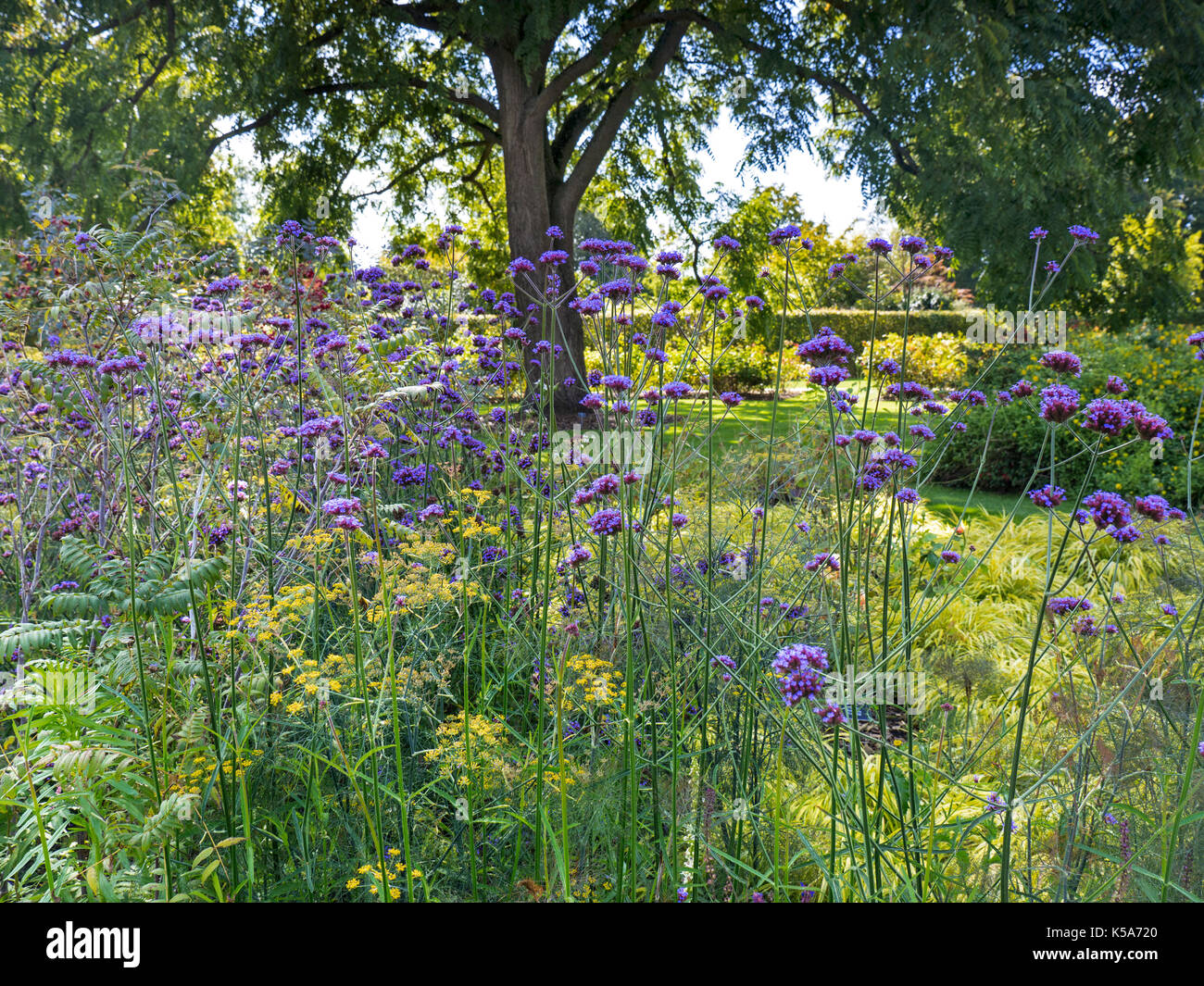 Verbena bonariensis a herbaceous tall slender stemmed perennial plant, in full bloom in a sunlit verdant garden - Stock Image