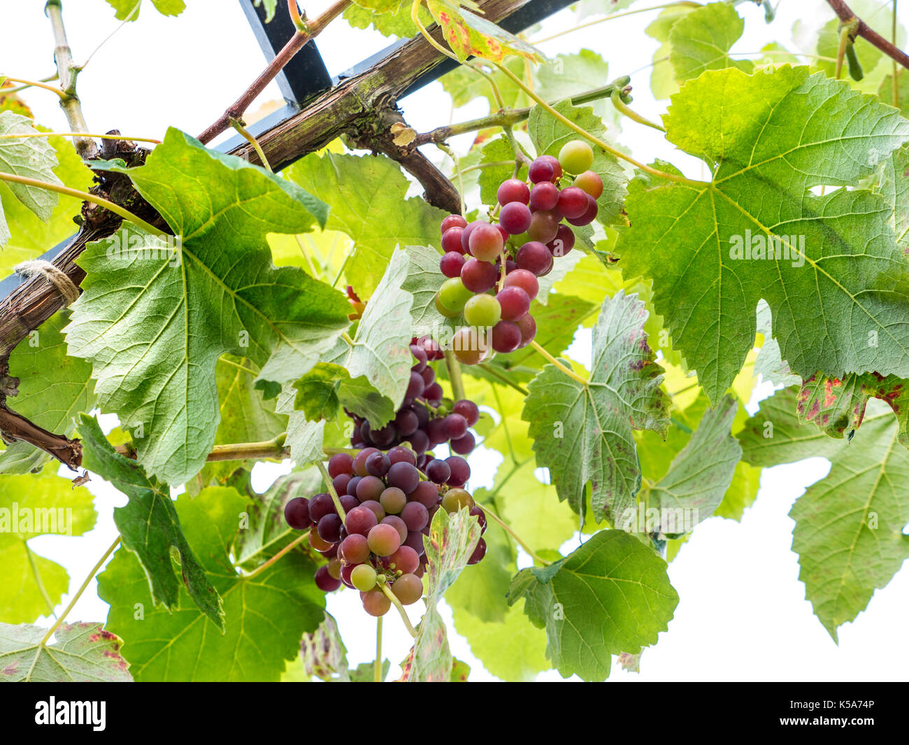 New York Muscat Grape Vine ripening (Vitaceae Family) producing sweet muscat /blackcurrant  flavoured wine and dessert Stock Photo