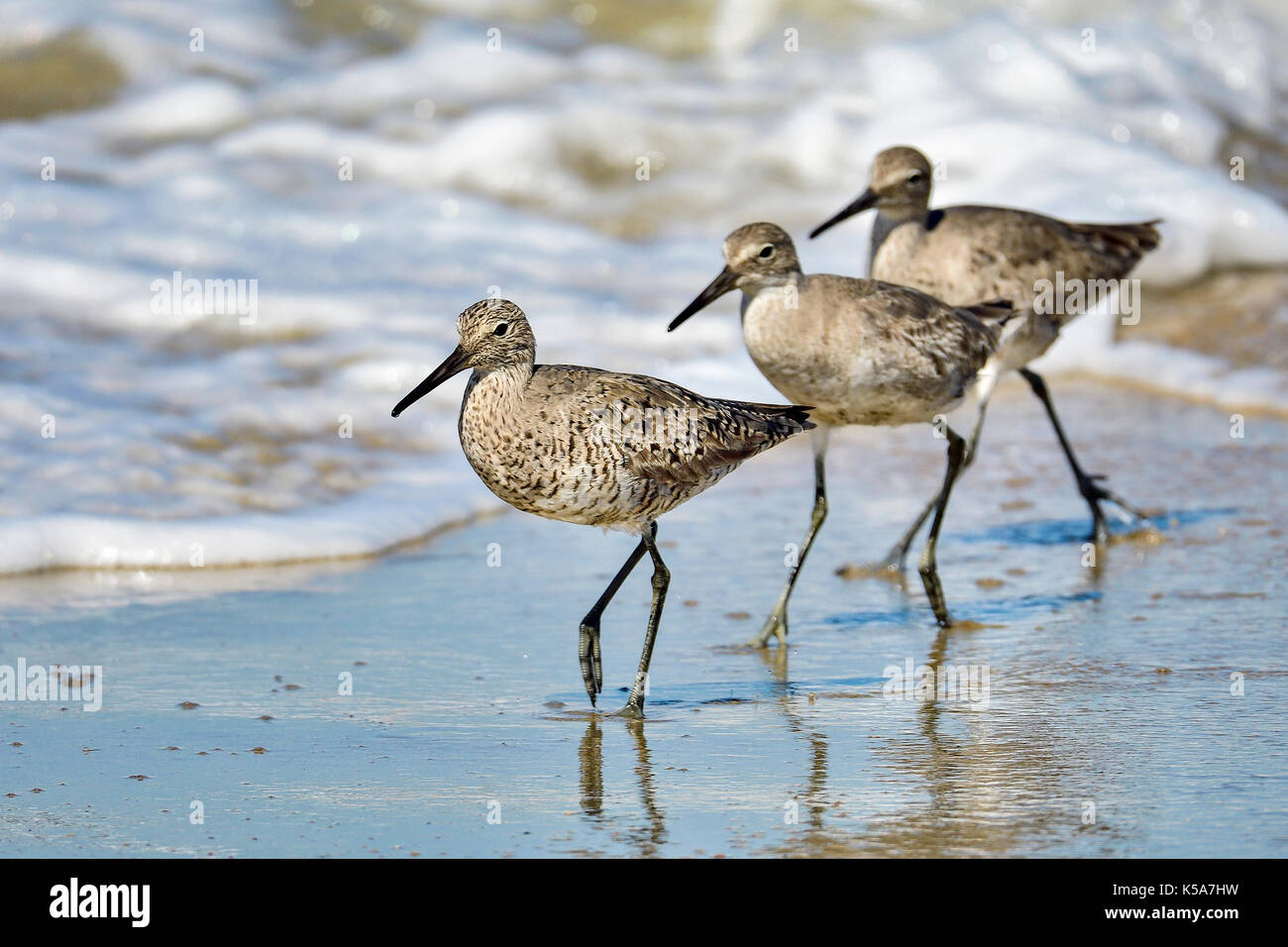 Willet - Stock Image