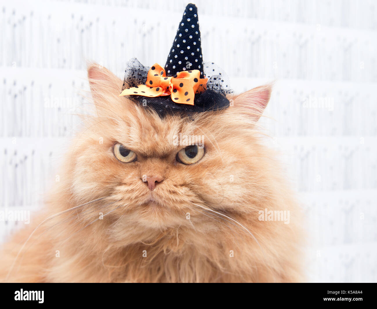 Orange Persian Cat wearing witch hat - Stock Image
