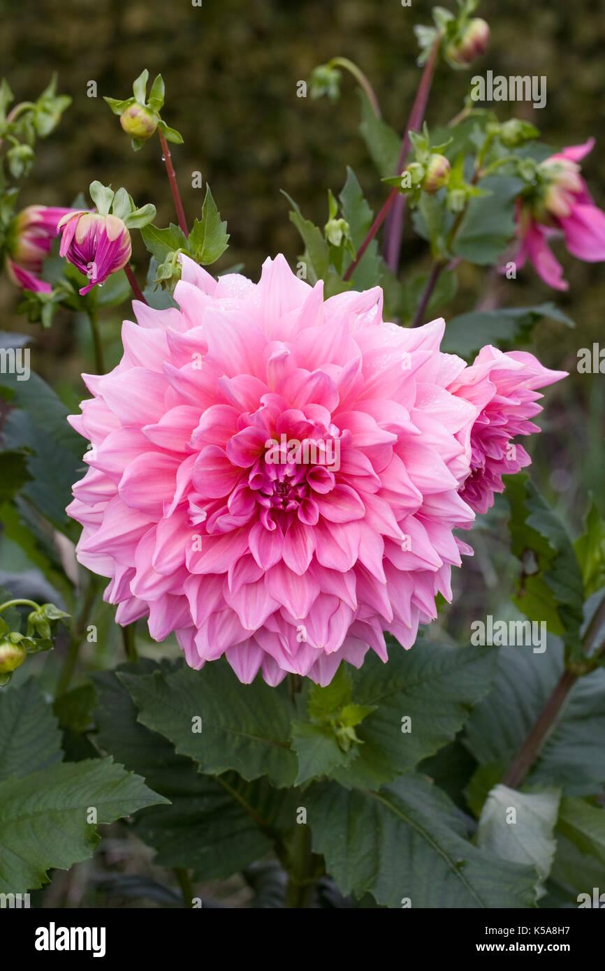 Dahlia 'Otto's Thrill' flowers. - Stock Image