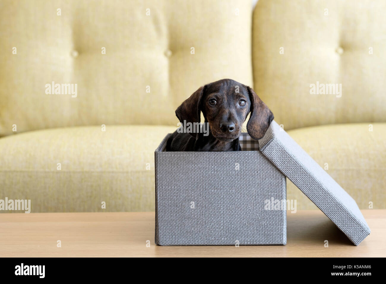 A puppy Dachshund dog inside a tweed finished box with its lid to one side. Looking as if the puppy has just arrived as a present - Stock Image