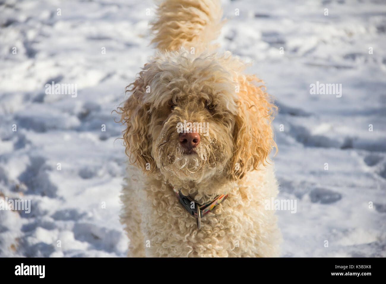 Labradoodle playing in backyard in snow - Stock Image