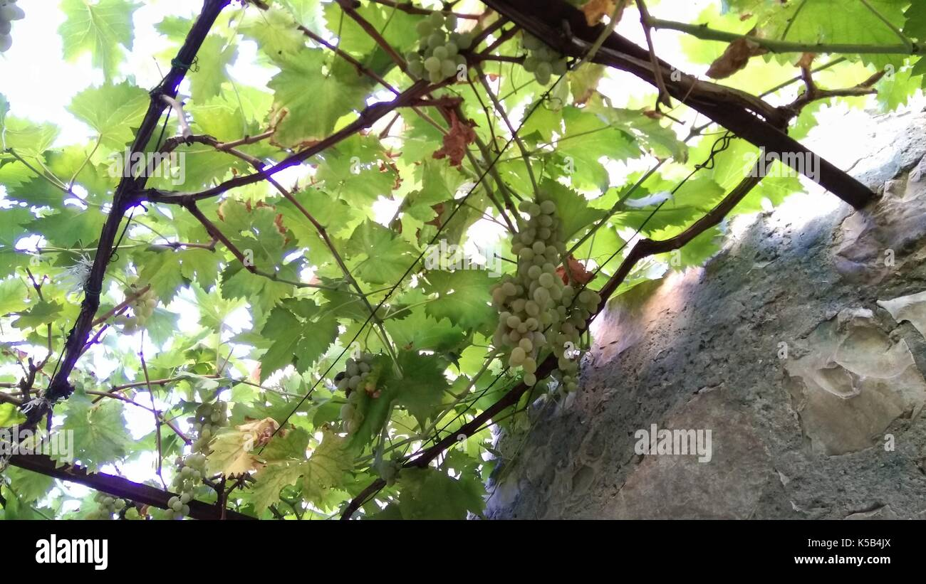 Grape plant, ready to be picked grape - Stock Image