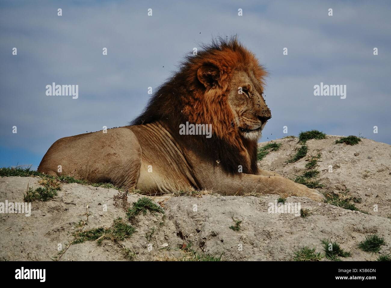 Male lion resting on hill - Stock Image