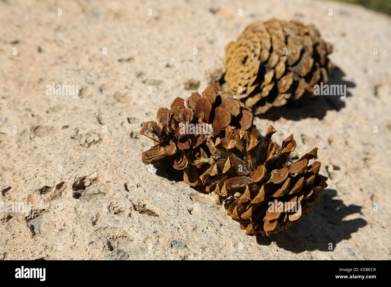 Pinecones on a Rock - Stock Image