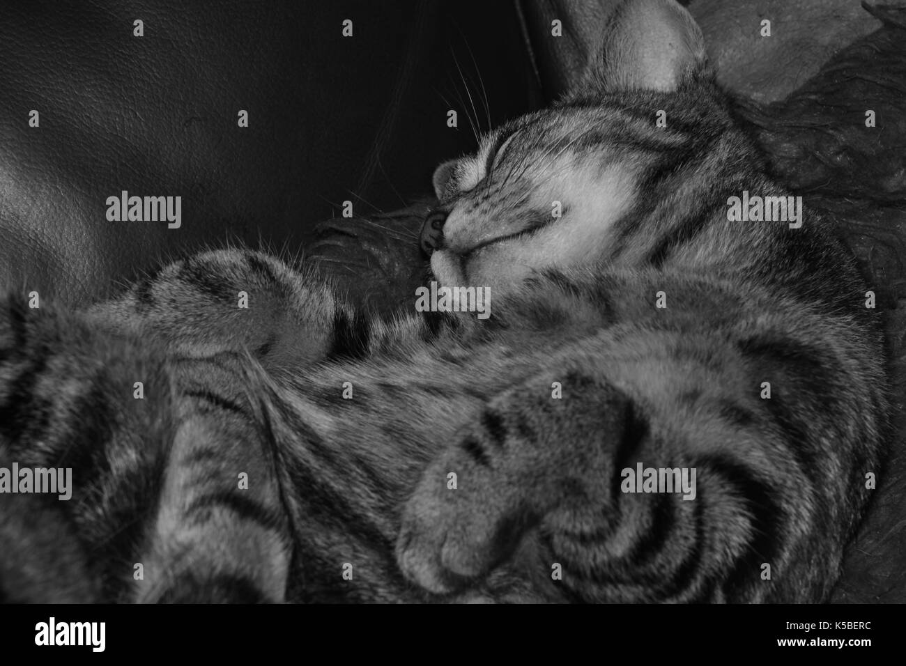 Female tabby cat sleeping on a sofa in black and white - Stock Image