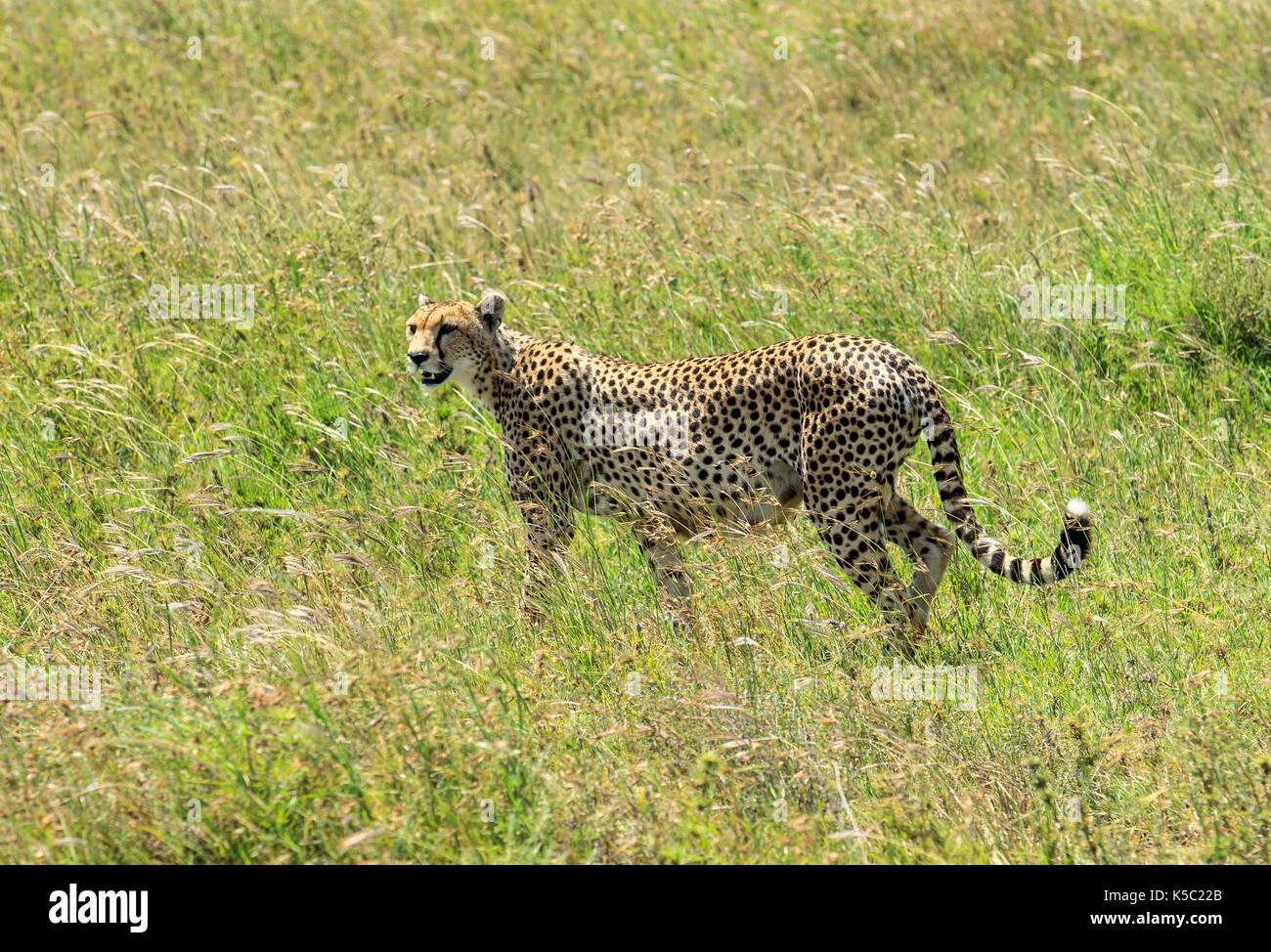 Cheetah on the prowl in the Serengeti - Stock Image