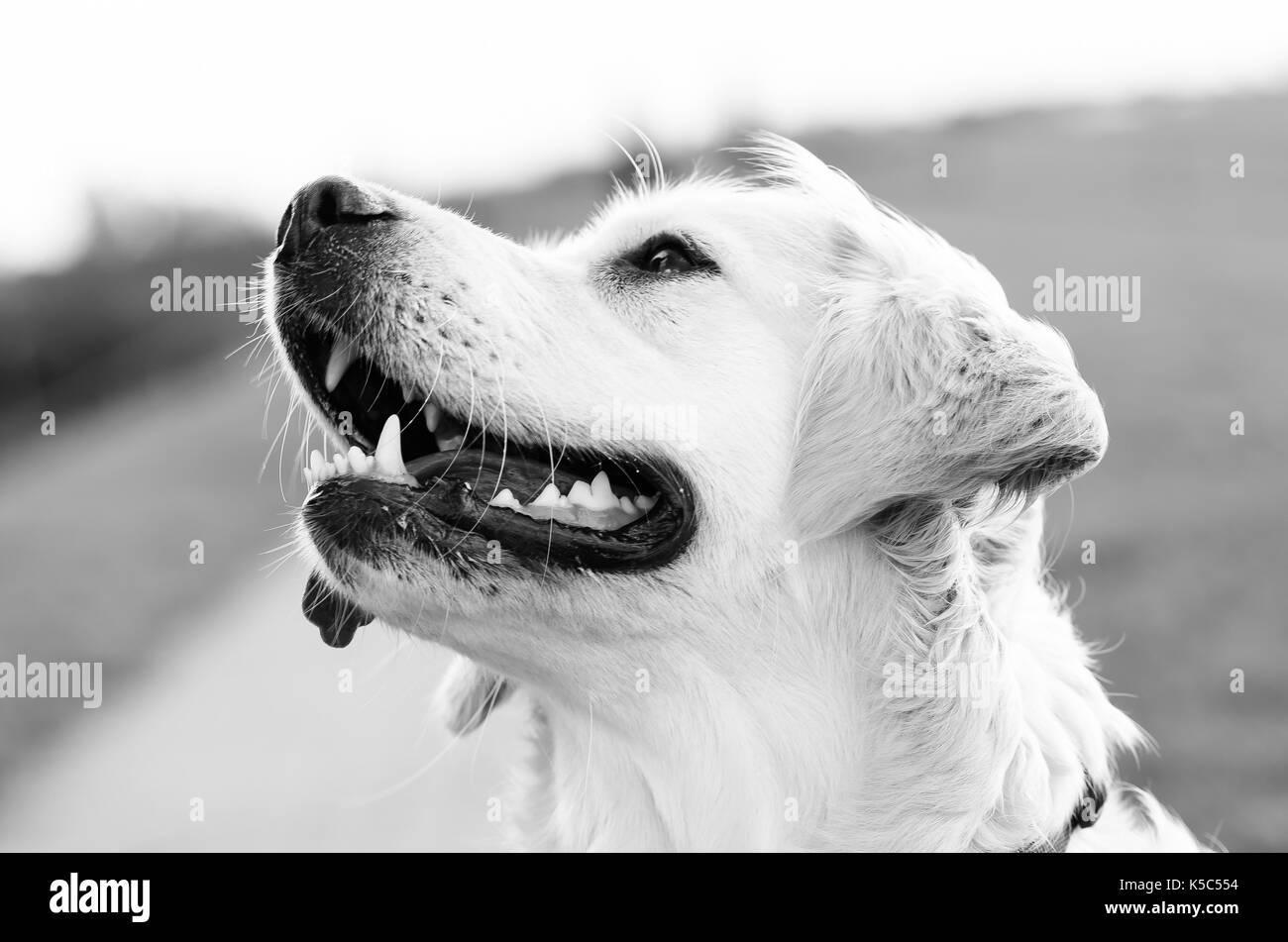 Headshot of a golden retriever in black and white - Stock Image