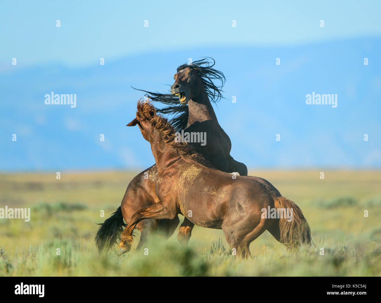 Wild Horse Stallions Fighting (Equus ferus), Western US - Stock Image