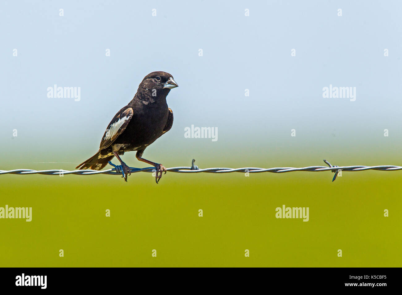 Lark Bunting  Calamospiza melanocorys Pawnee National Grasslands, Colorado, United States 6 July 2017    Adult Male on barbed wire fence.  A common si - Stock Image