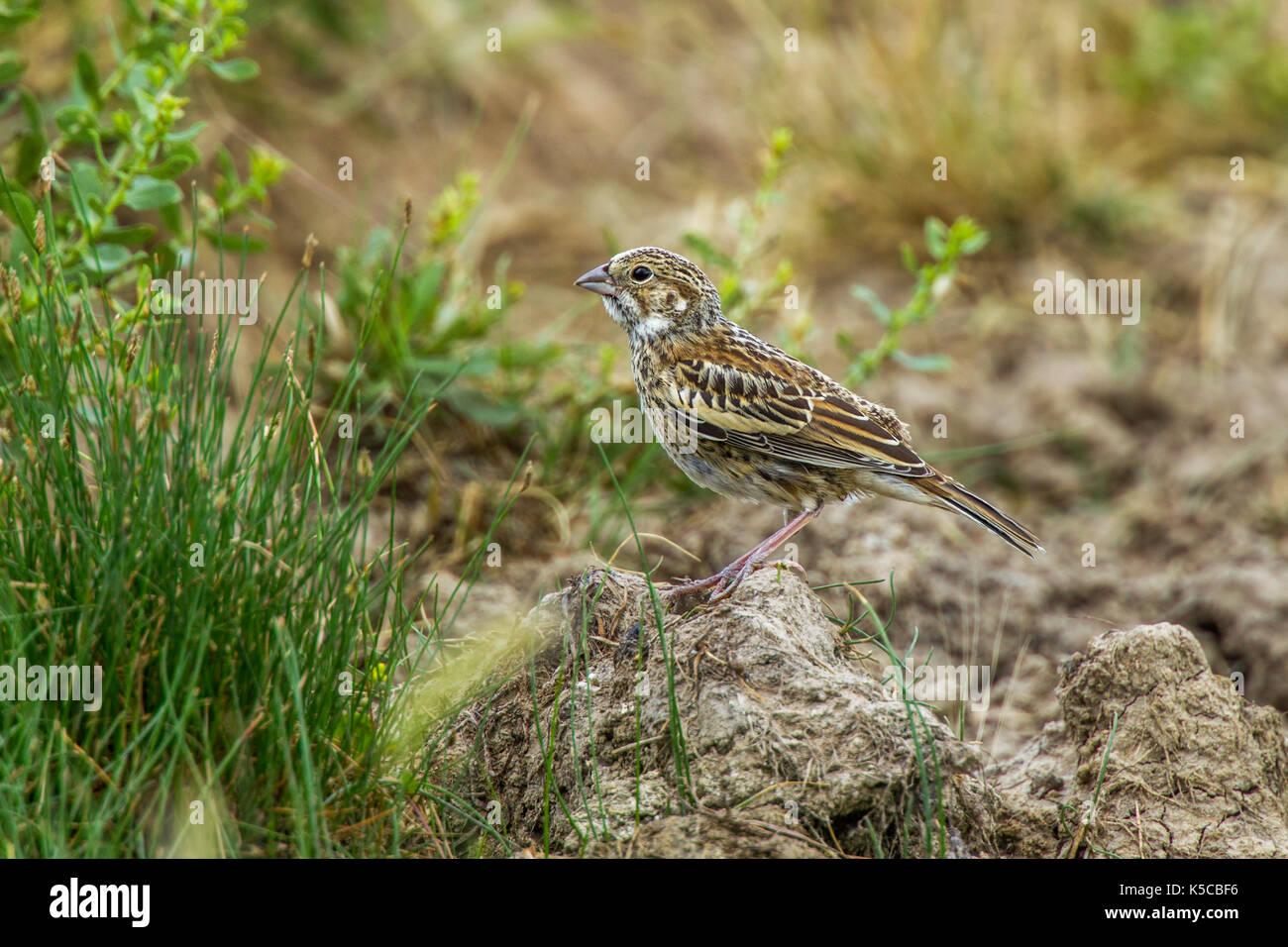 Lark Bunting  Calamospiza melanocorys Pawnee National Grassland, Colorado, United States 6 July 2017     Immature    Passerellidae - Stock Image