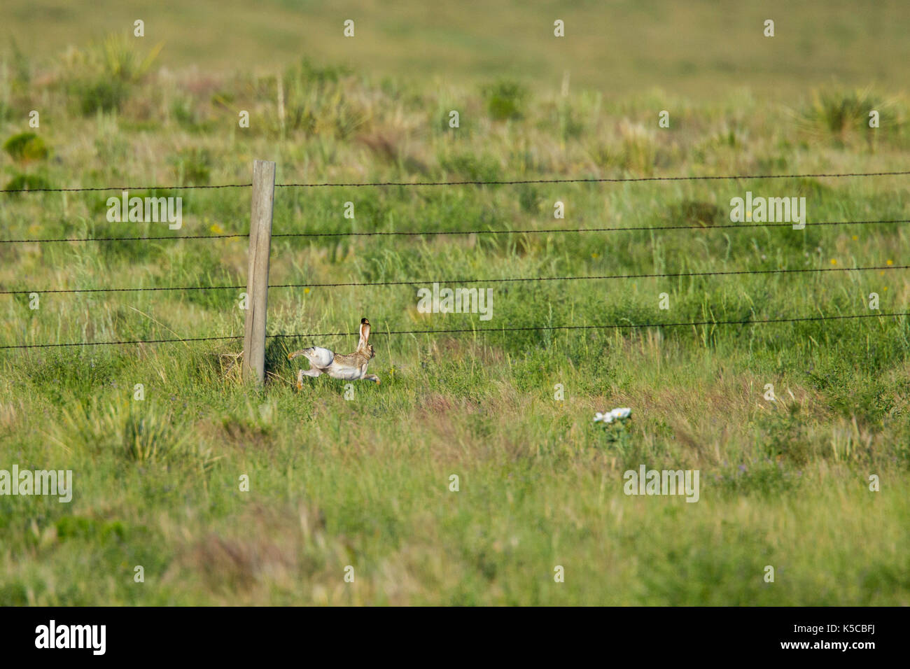 Whitetailed Jackrabbit  Lepus townsendii Pawnee National Grassland, Colorado, United States 6 July 2017      Adult - Stock Image