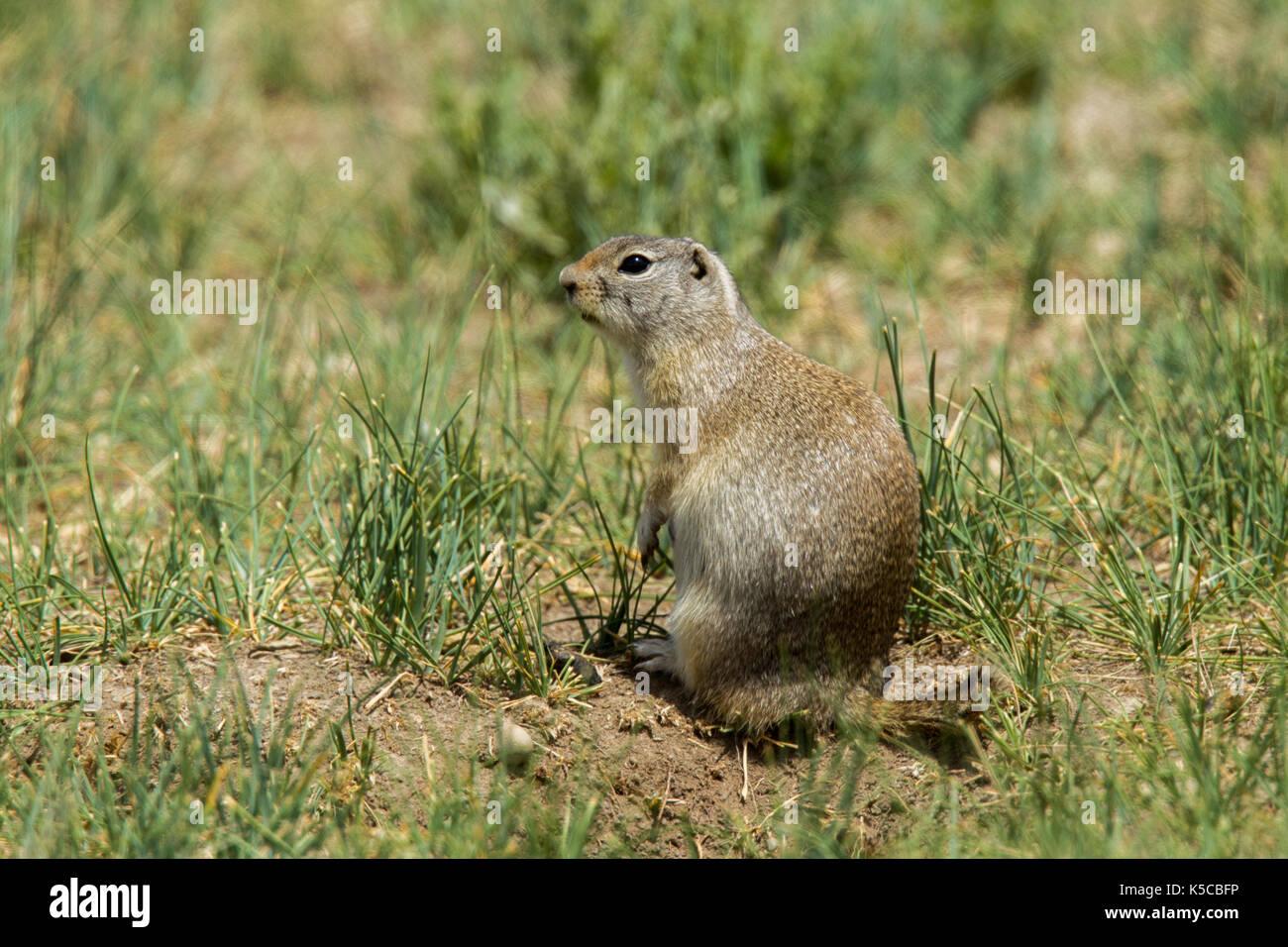 Wyoming Ground Squirrel  Urocitellus elegans   Arapaho National Wildlife Refuge, Colorado, United States 8 July 2017    Adult      Sciuridae      Form - Stock Image