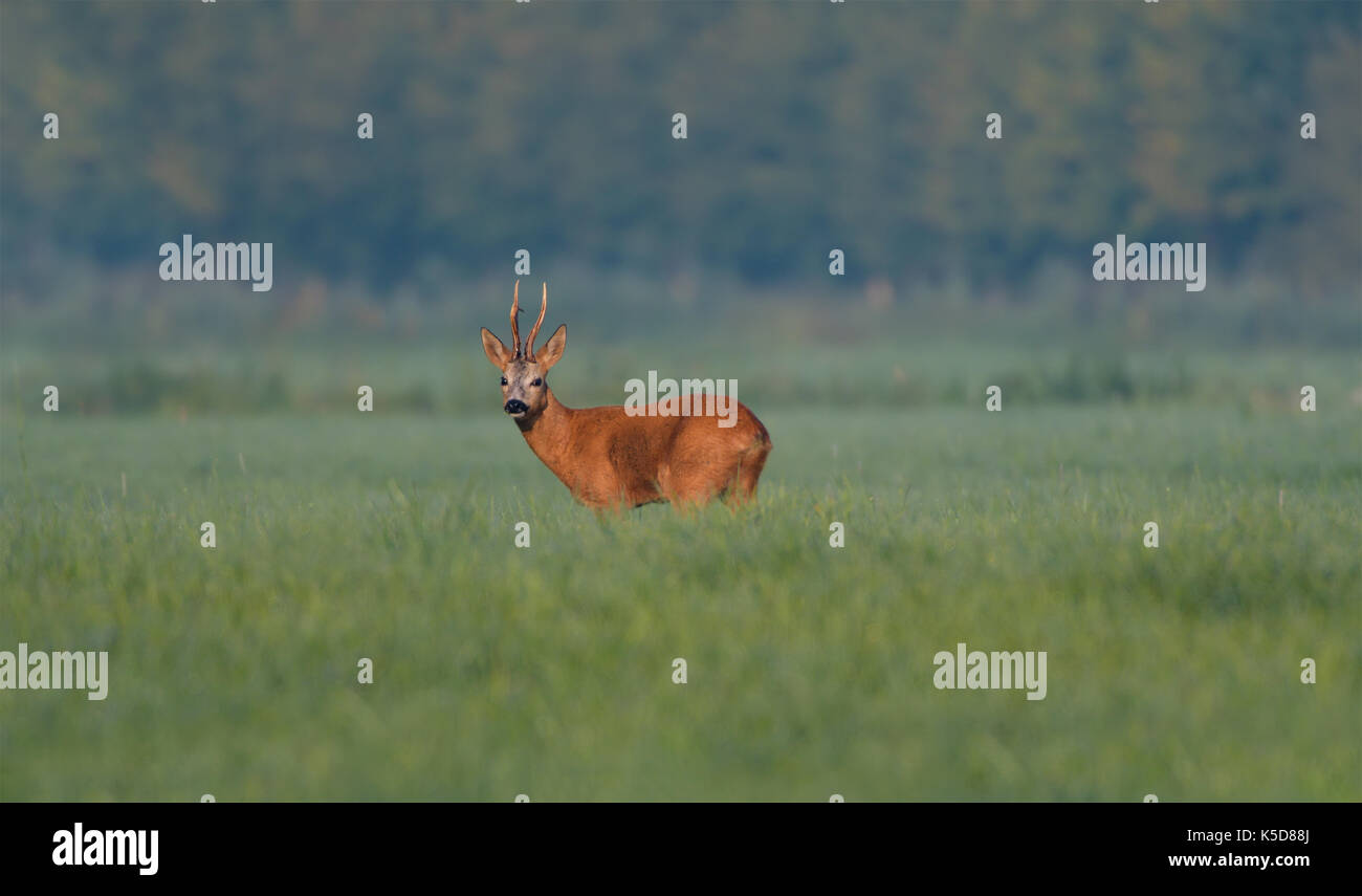 Roe Deer male, buck, at sunrise in a meadow full of high grasses and other vegetation. - Stock Image