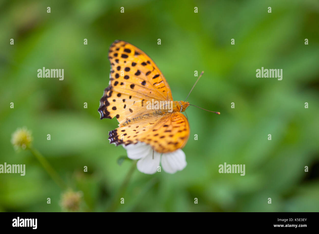 Indian Fritillary Butterfly, Argynnis hyperbius, sitting on a flower. Selective focus on centre of insect. - Stock Image