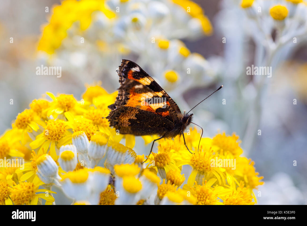 Small Tortoiseshell Butterfly with it's wings half open sitting on a  Dusty Miller plant - Stock Image