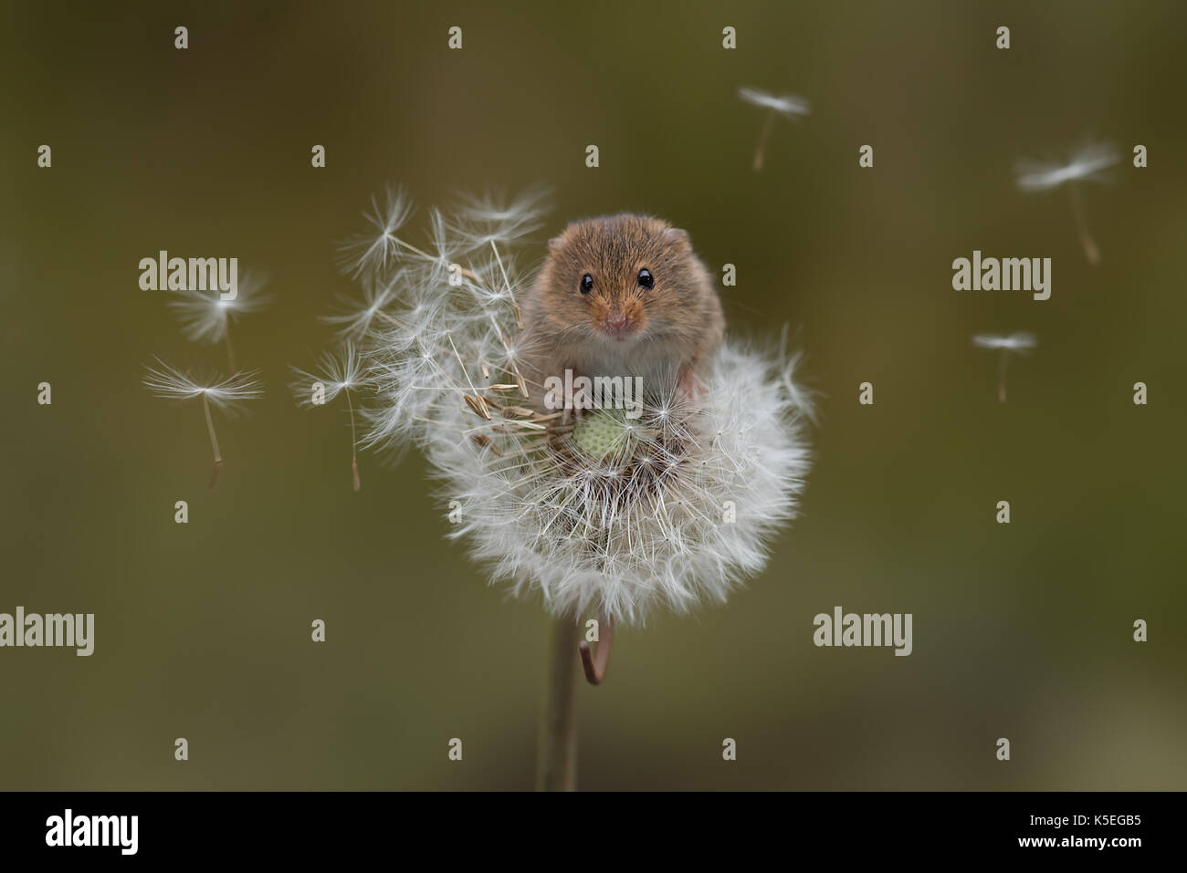 A harvest mouse balances precariously on a dandelion clock with the seeds blowing in the wind - Stock Image