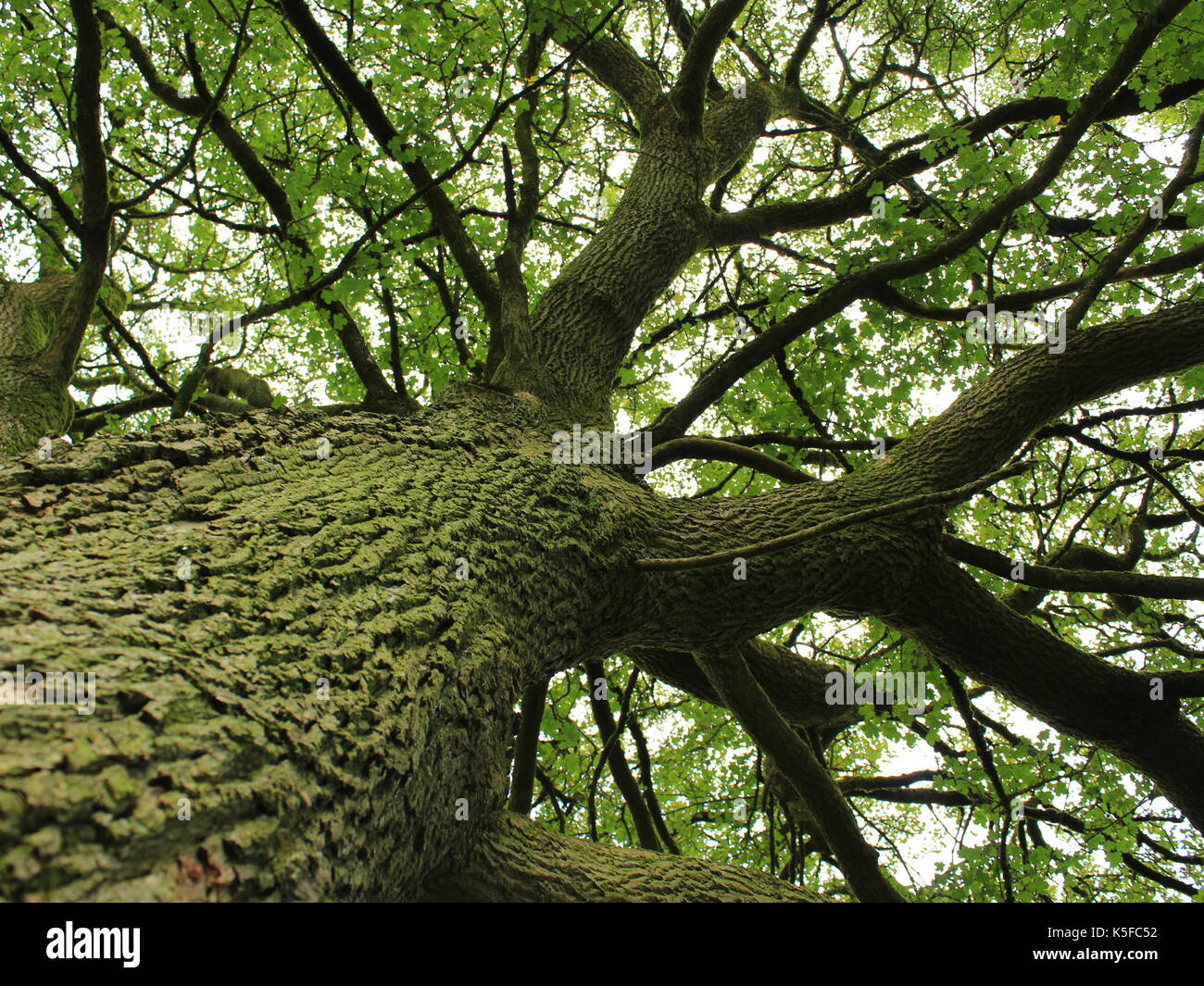 Low Angle Oak Tree - Stock Image