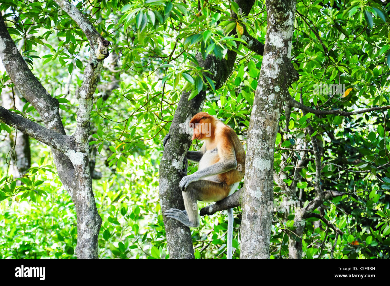 The proboscis monkey (Nasalis larvatus) aka long-nosed monkey, or bekantan in Indonesia or bayau in Sabah, is an Old World monkey that is endemic to t - Stock Image