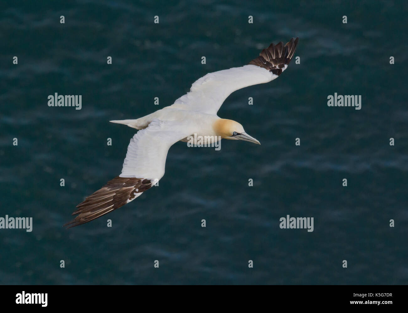 Adult Gannet flying over blue sea with wings extended - Stock Image