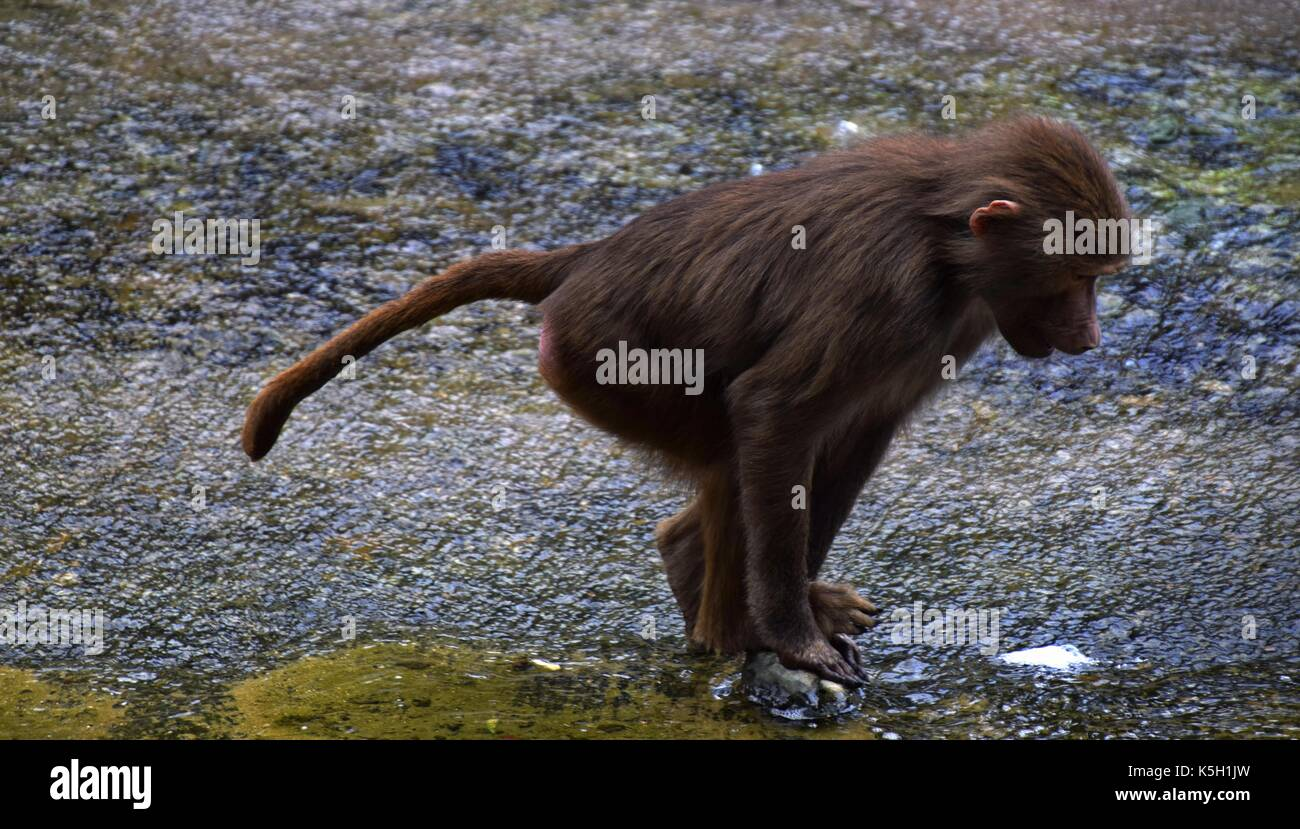 Family or herding of hamadryas baboon in a zoological garden, papio hamadryas, old world monkey in a zoo, sacred baboon harem - Stock Image