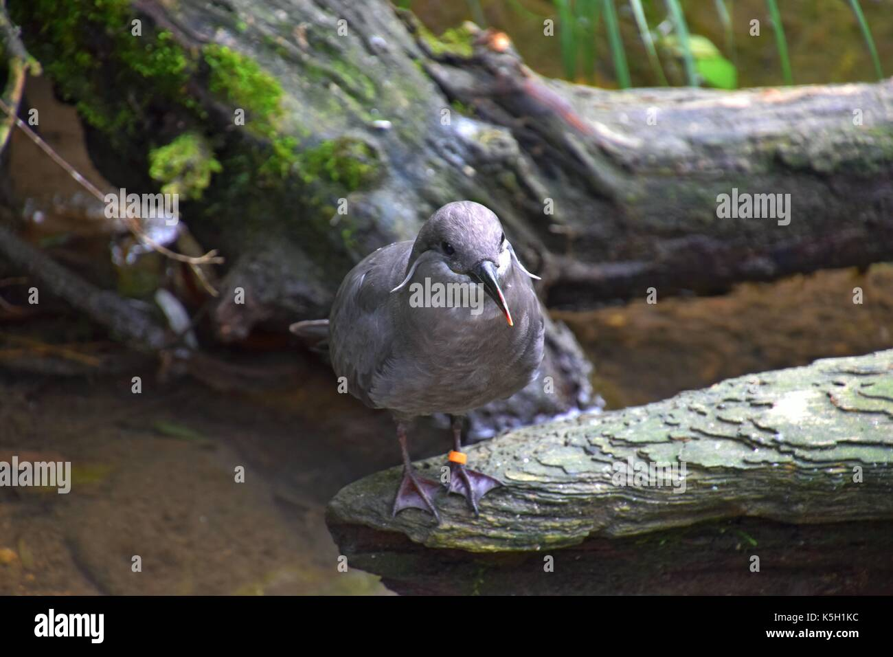 female of a larosterna inca at a stream, Larosterna Standing on a tree, Inca tern Stock Photo