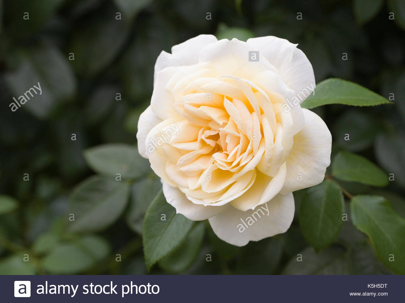 Rosa 'Champagne Moment'. - Stock Image