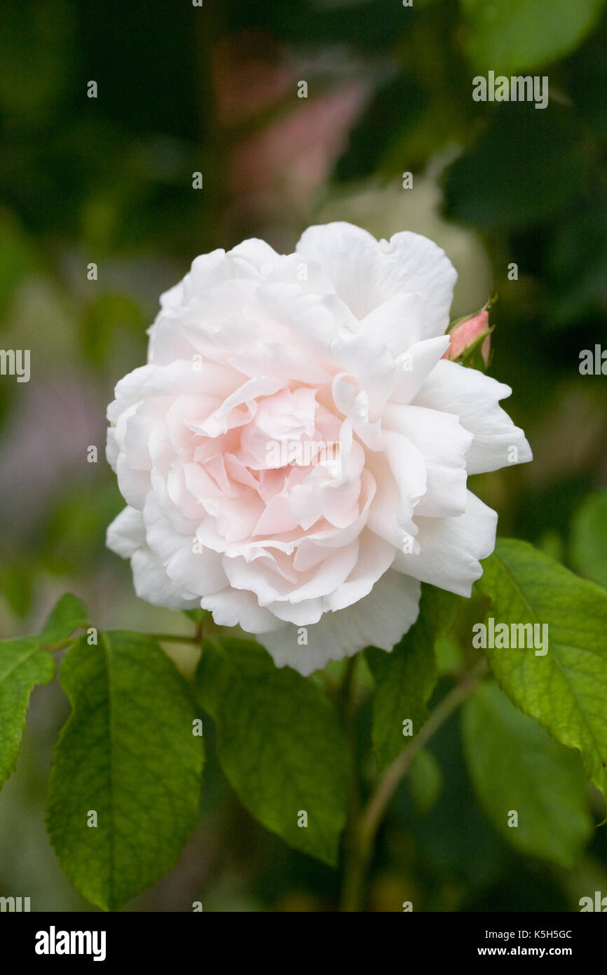 Rosa Mme. Alfred Carriere. - Stock Image