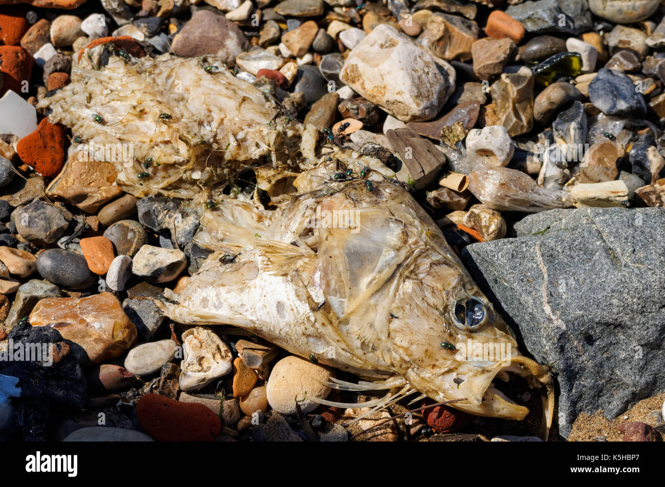 Rotten fish on the bank of the River Thames, London England United Kingdom UK - Stock Image